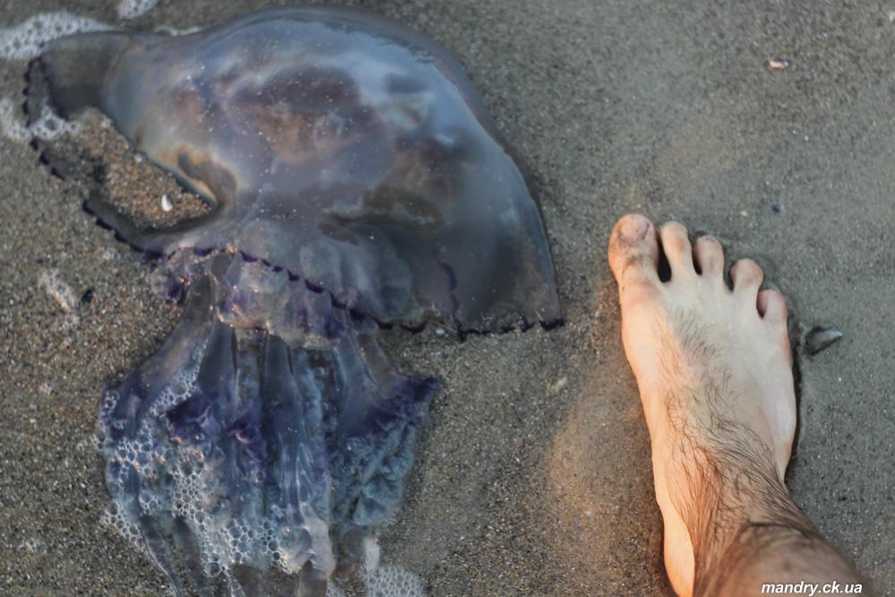 Медуза корнерот (Rhizostoma pulmo)