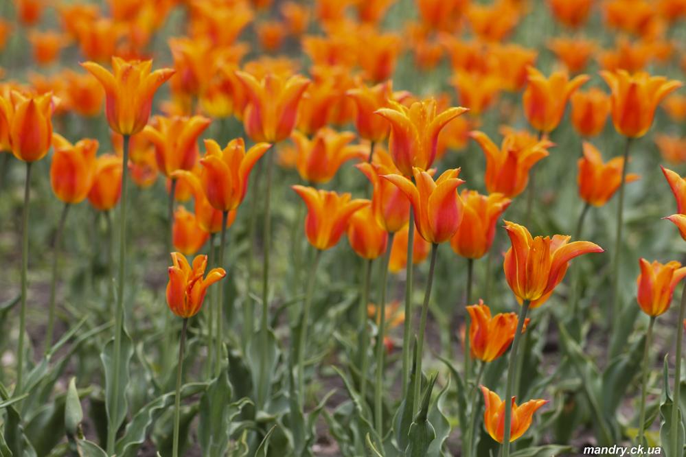 тюльпани дендропарк