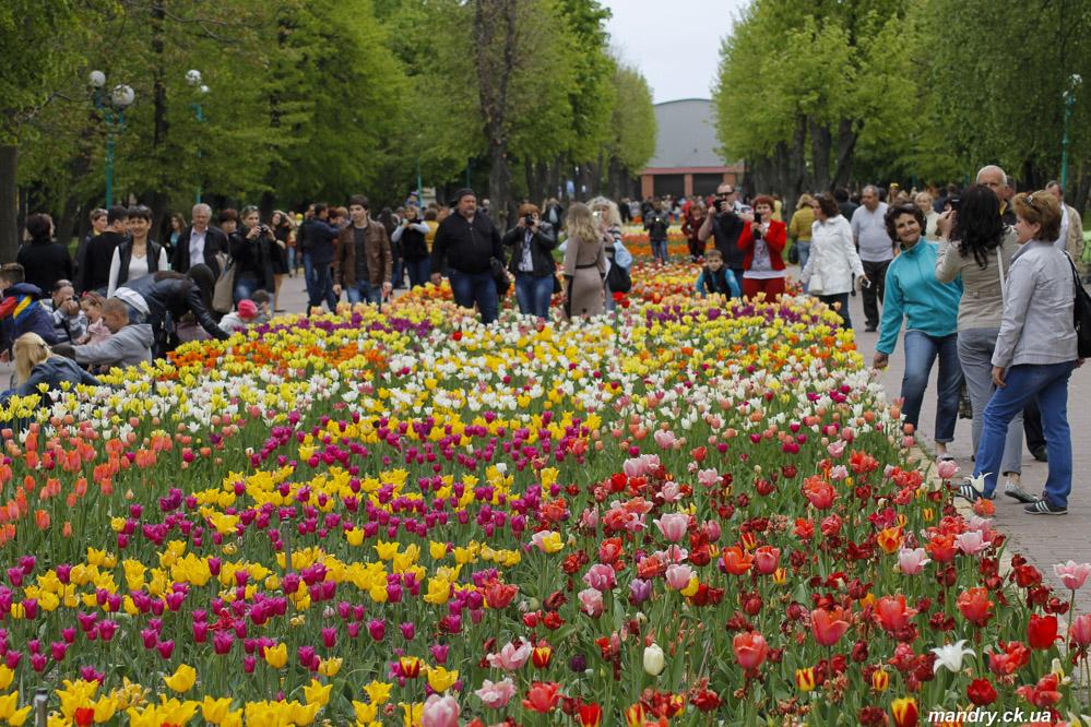 тюльпани Кіровоград