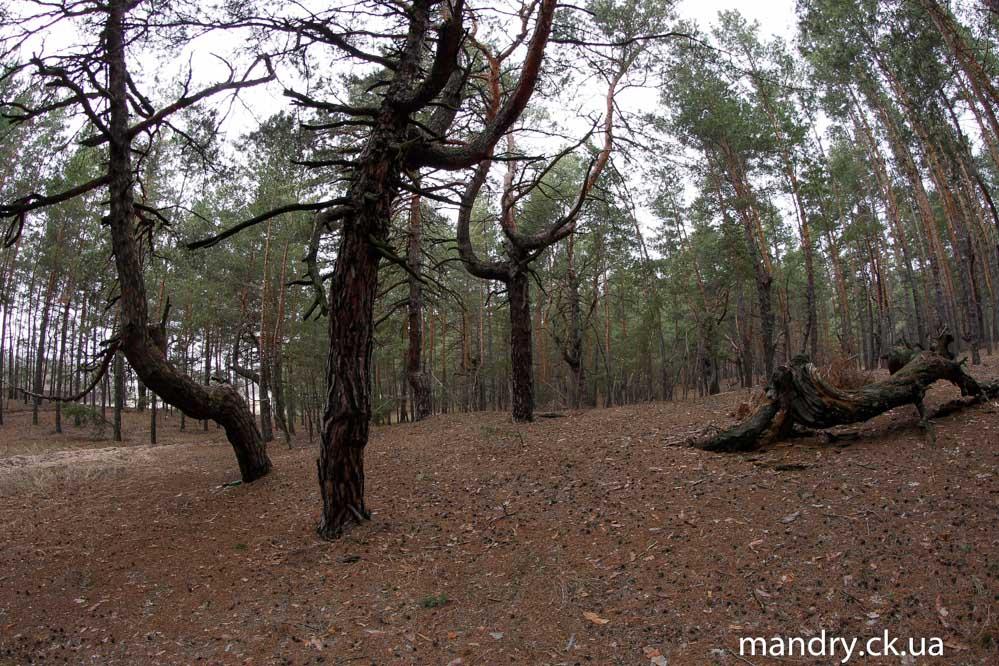 покручені дерева в Думанцях