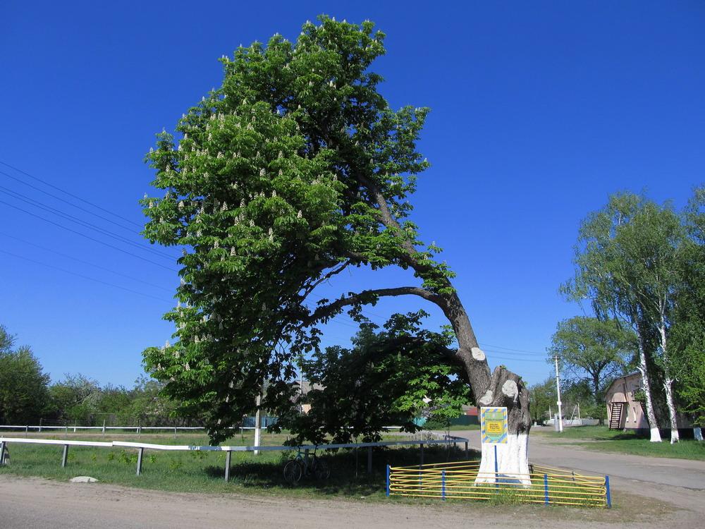 Вікове дерево каштан Дубіївка