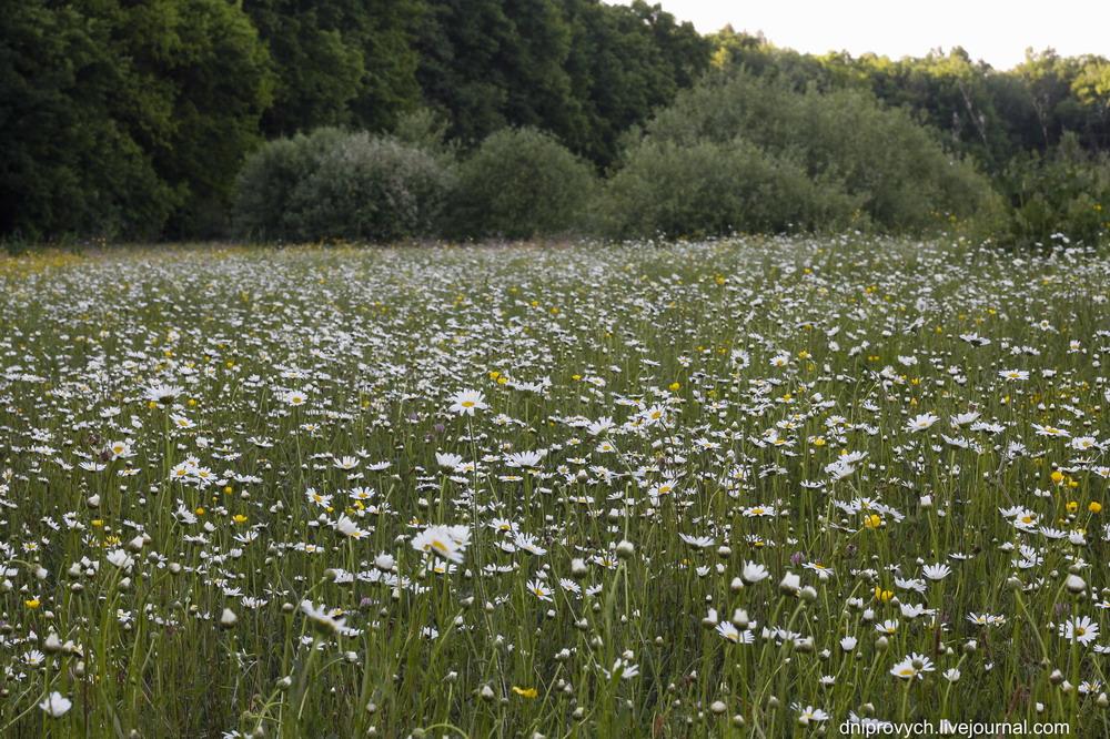 Ромашкова поляна