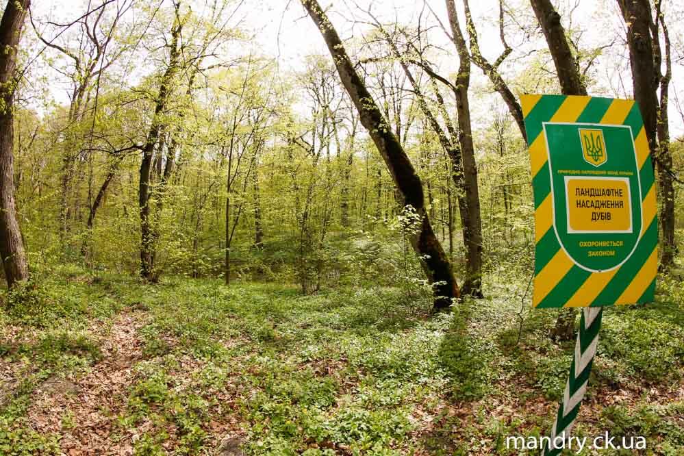 Черкаський ліс: ландшафтне насадження дубів