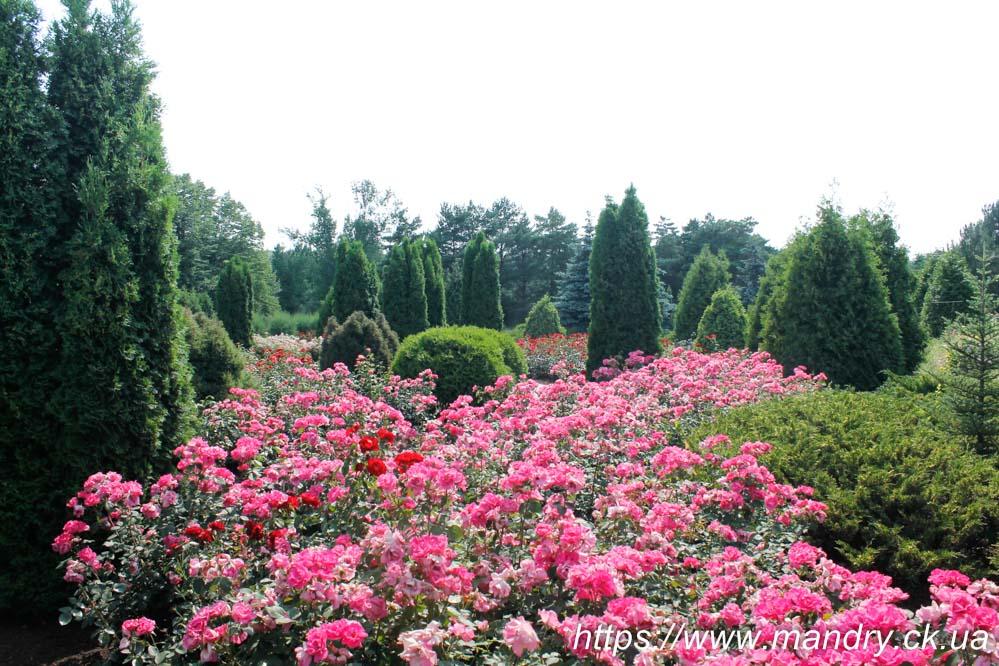 троянди в криворізькому ботсаду