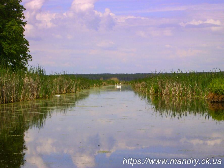 Лебеді на ірдинському болоті