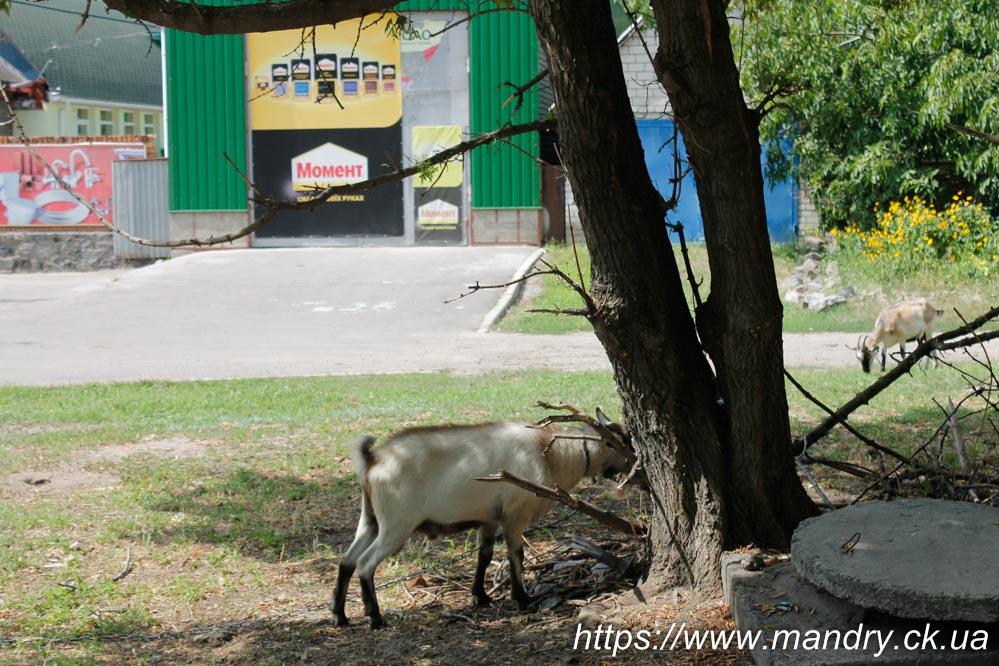 Кременчук коза