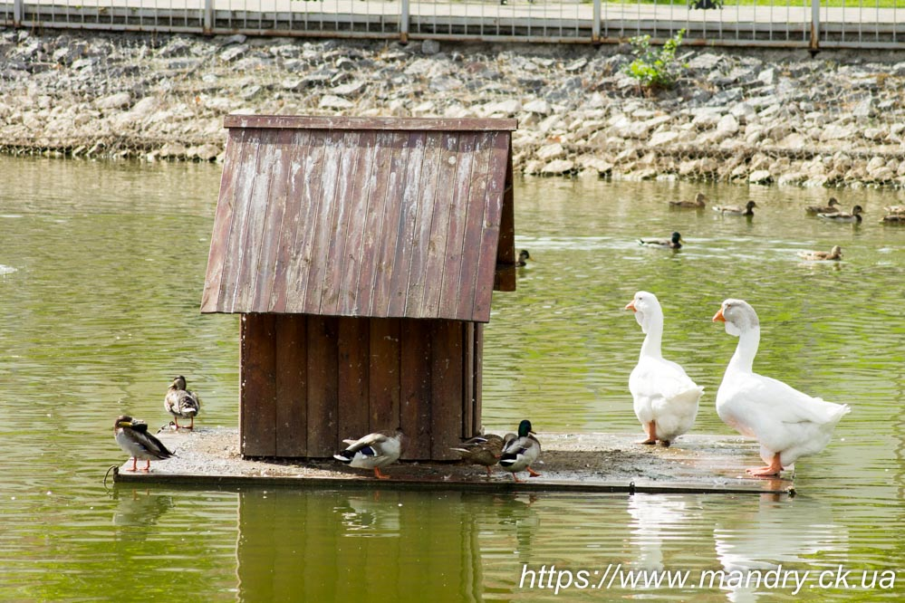качки і гуси