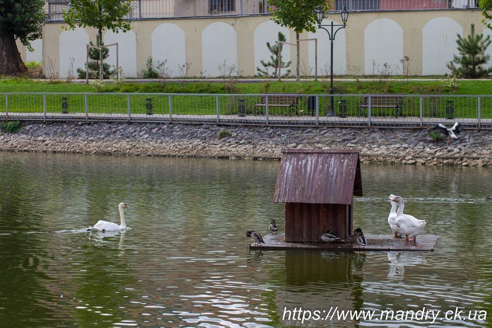 Міський сад Кременчука лебеді